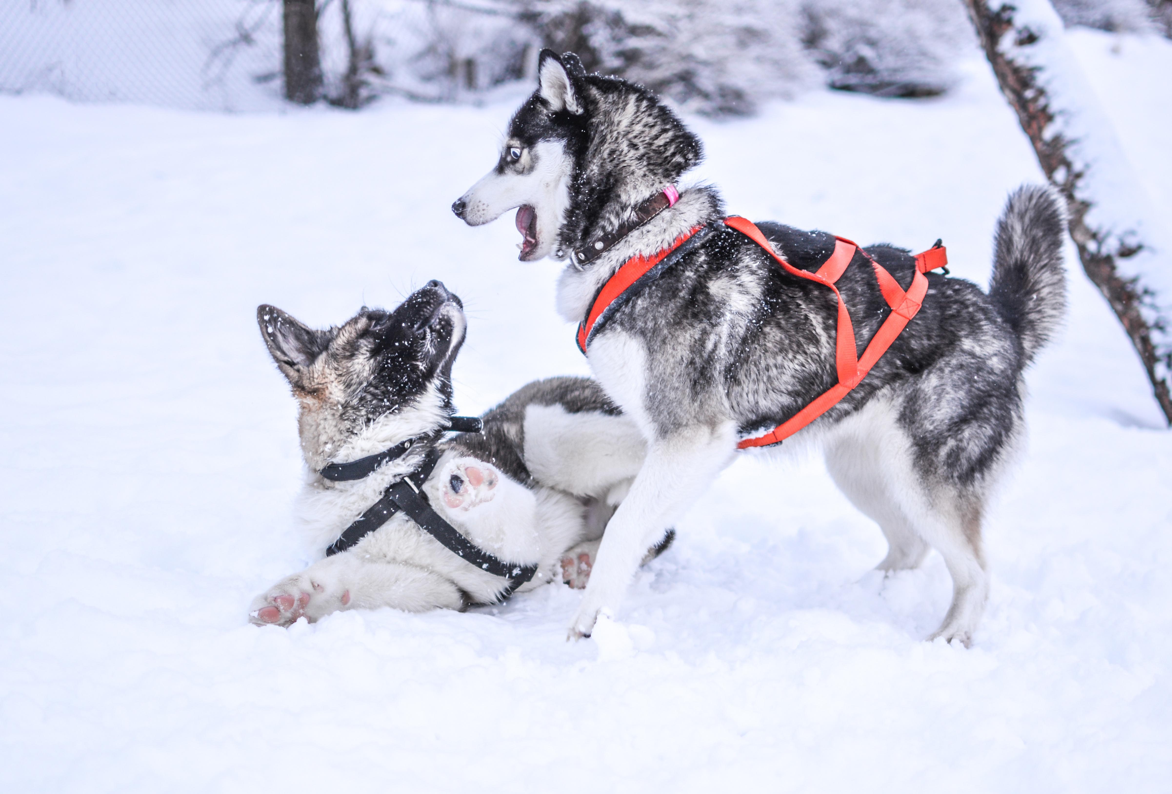 huskies.jpeg